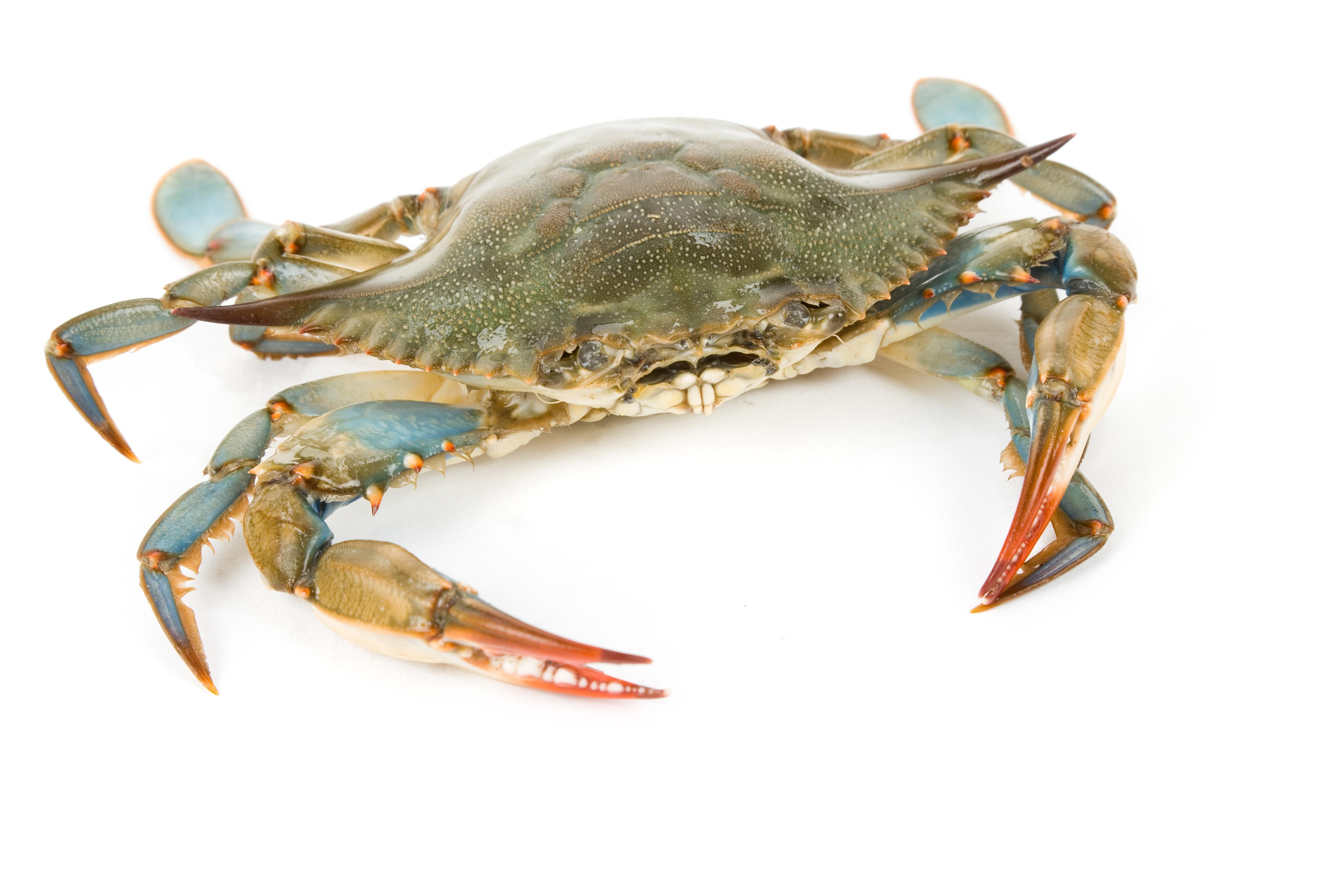 HaloKlear Blue Crab.jpg